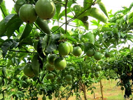 Chanh dây vườn ngon Bảo Lộc